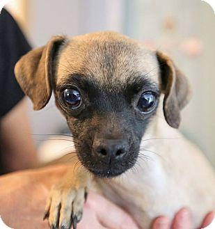 Pug/Chihuahua Mix Dog for adoption in Washington, D.C. - Lil Bit