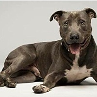 Adopt A Pet :: Travis - Los Angeles, CA
