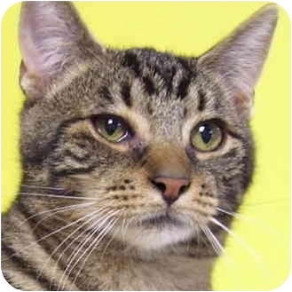 Domestic Shorthair Cat for adoption in Bloomingdale, New Jersey - Spencer