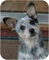 Australian Cattle Dog Mix Dog for adoption in Tracy, California - Susie