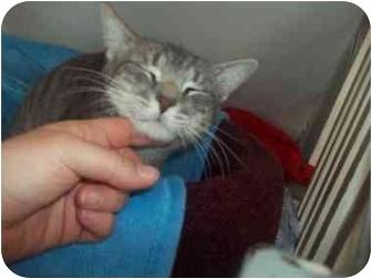 Domestic Shorthair Kitten for adoption in Little Neck, New York - SILVERADO
