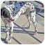 Photo 4 - Dalmatian Dog for adoption in Mandeville Canyon, California - Gracie