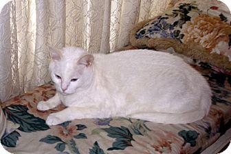 Domestic Shorthair Cat for adoption in Laguna Woods, California - Skye