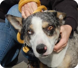Australian Cattle Dog Mix Dog for adoption in Brooklyn, New York - Russell