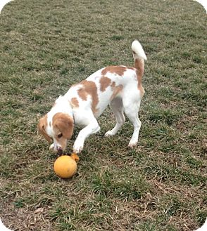 Beagle/Spaniel (Unknown Type) Mix Puppy for adoption in Leesburg, Virginia - Emilie