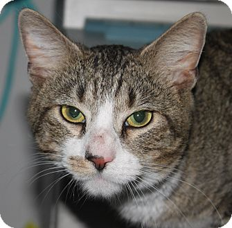 Domestic Shorthair Cat for adoption in North Branford, Connecticut - Bailey
