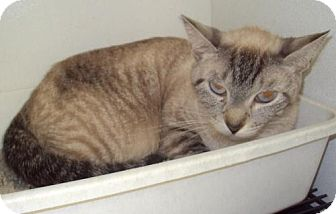 Siamese Cat for adoption in Mt. Vernon, Illinois - Kit Kat