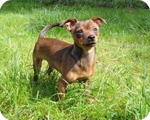 Dachshund/Miniature Pinscher Mix Dog for adoption in Seattle c/o Kingston 98346/ Washington State, Washington - HerbsBoys-Basil