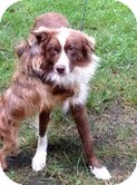 Australian Shepherd Mix Dog for adoption in Foster, Rhode Island - Steve