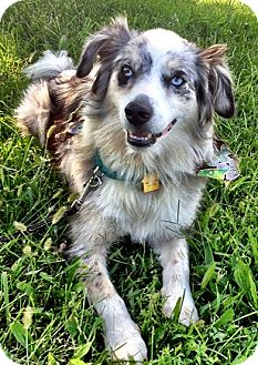 Border Collie/Australian Shepherd Mix Puppy for adoption in Frankfort, Kentucky - Gypsy