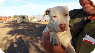 Pit Bull Terrier Puppy for adoption in Perris, California - Cassie