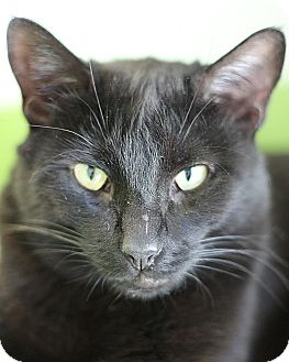 Domestic Shorthair Cat for adoption in El Cajon, California - jager