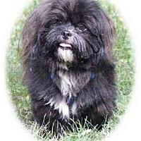 Adopt A Pet :: Barney Shih Tzu - Dayton, OH