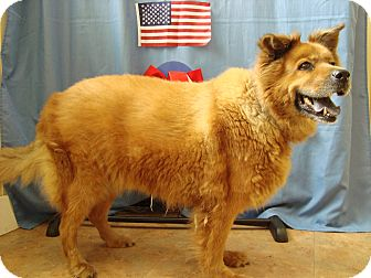 Chow Chow Mix Dog for adoption in Youngwood, Pennsylvania - Duchess