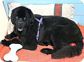 Newfoundland Dog for adoption in Forked River, New Jersey - Sasha