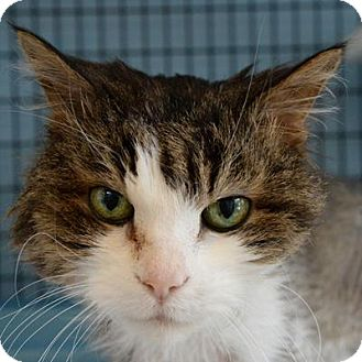 Domestic Shorthair Cat for adoption in Denver, Colorado - Queens