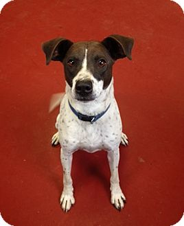 Rat Terrier/Hound (Unknown Type) Mix Dog for adoption in Florence, Indiana - Max