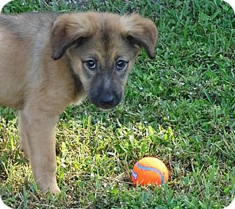 Shepherd (Unknown Type)/Labrador Retriever Mix Puppy for adoption in Port St. Joe, Florida - Britta