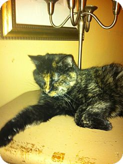 Domestic Shorthair Cat for adoption in Toronto, Ontario - Snickers