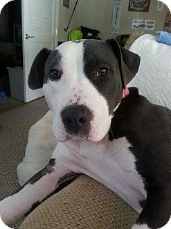 Pit Bull Terrier Mix Dog for adoption in Philadelphia, Pennsylvania - EMMA