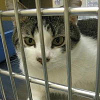 Domestic Shorthair Cat for adoption in Logan, Utah - Kozmos