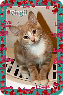 Domestic Shorthair Kitten for adoption in Atco, New Jersey - Virgil