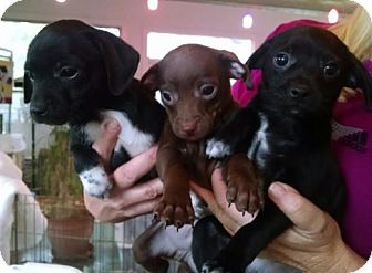 Chihuahua/Rat Terrier Mix Puppy for adoption in Cat Spring, Texas - Three Amigos
