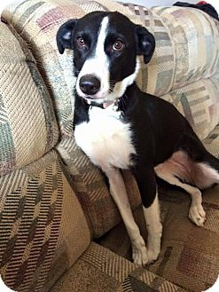 Whippet/Border Collie Mix Dog for adoption in selden, New York - PENNY