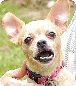 Chihuahua/Pug Mix Dog for adoption in Williamsport, Maryland - Blubell (8 lb) A Sweet Pea!