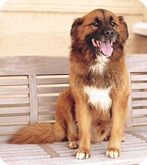 Golden Retriever/Chow Chow Mix Dog for adoption in Marietta, Georgia - Sebastian