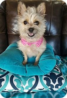 Terrier (Unknown Type, Small) Mix Dog for adoption in San Diego, California - Bambi