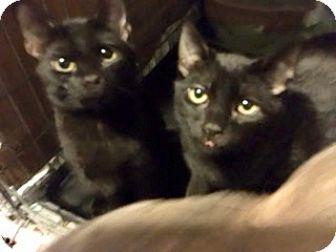 Domestic Shorthair Kitten for adoption in Colmar, Pennsylvania - Stevey