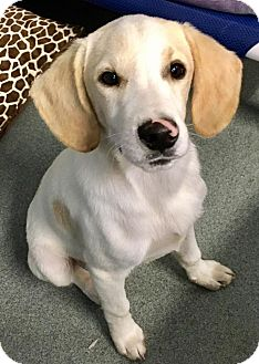 Hound (Unknown Type) Mix Dog for adoption in St. Louis, Missouri - Sonny