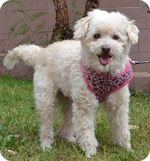 Poodle (Miniature) Mix Dog for adoption in Simi Valley, California - Tiffany
