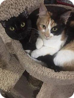 Domestic Shorthair Cat for adoption in Wasilla, Alaska - Cinder