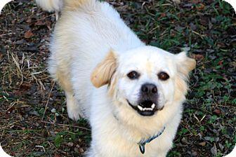 Tibetan Spaniel Mix Dog for adoption in Allentown, Pennsylvania - Bucky (aka Buckwheat)