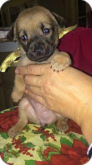 Border Collie/Polish Lowland Sheepdog Mix Puppy for adoption in Boerne, Texas - Suzette
