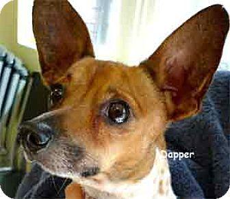 Jack Russell Terrier Mix Dog for adoption in Warren, Pennsylvania - Dapper