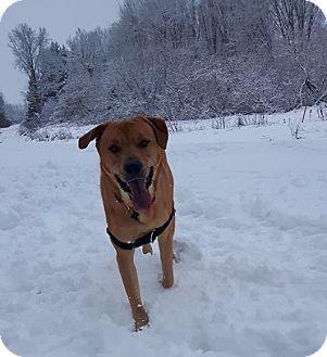 Labrador Retriever/Chow Chow Mix Dog for adoption in Hanover, Ontario - Kingston