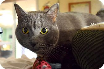 Domestic Shorthair Cat for adoption in Bay Shore, New York - Blue