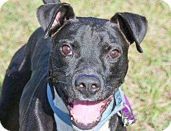 Terrier (Unknown Type, Medium) Mix Dog for adoption in Fernandina Beach, Florida - CHOMPER