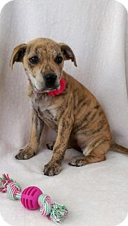 Boxer/Labrador Retriever Mix Puppy for adoption in Elkton, Maryland - Tasha