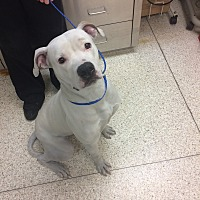 Adopt A Pet :: Olaf - University Park, IL