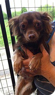 Chihuahua/Dachshund Mix Dog for adoption in Kansas city, Missouri - Joey