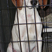 Foxhound Mix Dog for adoption in New Plymouth, Idaho - LOUIE