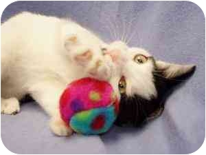 Domestic Shorthair Kitten for adoption in Walker, Michigan - Simone