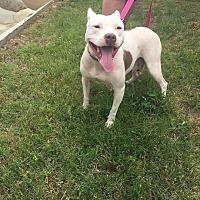 Adopt A Pet :: Saylor - Durham, NC
