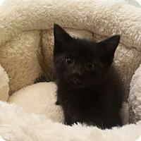 Adopt A Pet :: Bijou - Chelsea - Kalamazoo, MI