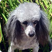 Adopt A Pet :: Dorothy - Bridgeton, MO