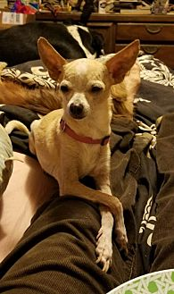 Chihuahua Dog for adoption in Tonopah, Arizona - Taco & Belle